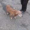Prisca, Chien basset hound à adopter