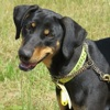 Doby, Chien dobermann à adopter