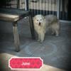 June, Chien berger australien, berger des pyrénées à adopter