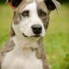 Nandoa, Chien american staffordshire terrier à adopter