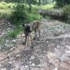 Kovou, Chien berger hollandais à adopter