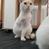 Ravioli 3 pattes, Chat  à adopter