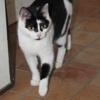 Linda, Chat européen à adopter