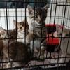 5 adorable chatons élevés par odyssée, Chaton européen à adopter