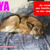 Caya, Chien berger allemand à adopter