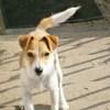 Blue_croise fox, Chien fox-terrier à adopter