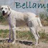 Bellamy, Chien mâtin espagnol à adopter