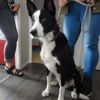Butch, Chien border collie à adopter