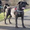 Jody, Chien cane corso à adopter