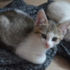 Oural, Chaton  à adopter