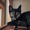 Ofélia, Chaton  à adopter