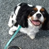 Leslie, Chien cavalier king charles spaniel à adopter