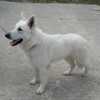 Narco, Chien berger blanc suisse à adopter