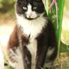 Felix, Chat européen à adopter