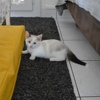 Olympe, Chaton  à adopter