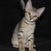 Effy, Chaton à adopter