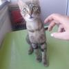 Kazuka, Chat européen, bengal à adopter