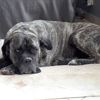 Indra, Chien cane corso à adopter