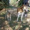 Bouba et kencho, Chien à adopter