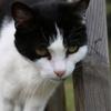Saffira, Chat gouttière à adopter