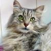 Gobain angora gris argenté, Chat  à adopter