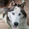 Cookie, Chien husky sibérien à adopter