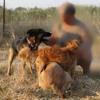 Titan, Chien berger allemand, husky sibérien à adopter