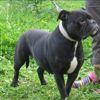 Edith, Chien bulldog à adopter