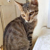 Ousty, Chaton  à adopter