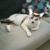 Nya, Chat  à adopter