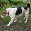 Foxie n°14249, Chien fox-terrier à adopter