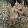 Galopin n°14430, Chien  à adopter