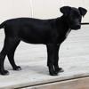 Opla, Chiot border collie, labrador retriever à adopter