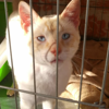 Blanquito, Chat européen, siamois à adopter