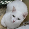 Milky, Chat  à adopter