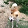 Maho, Chien akita inu à adopter