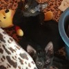 Odeline, Chaton à adopter
