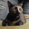 Anna, Chat européen à adopter