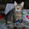 Némur, Chat européen à adopter