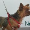 Nino, Chien yorkshire terrier à adopter