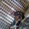 Obiwan, Chiot rottweiler à adopter