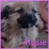 Rosie, Chiot  à adopter
