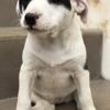 Missouk, Chiot  à adopter