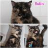 Rubis, Chat européen à adopter