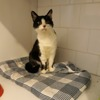 Nacree, Chat européen à adopter