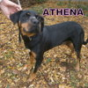 Athena n°14515, Chien beauceron à adopter