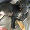 Kalie, Chiot  à adopter