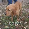 Obby n°14497, Chien griffon fauve de bretagne à adopter