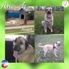 Anouck, Chien berger d'anatolie à adopter