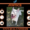 Justice, Chien bull terrier à adopter